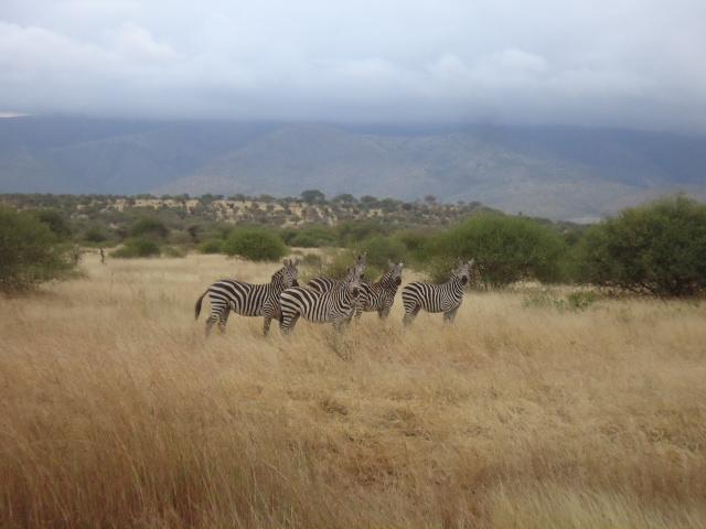 タンザニア シマウマ