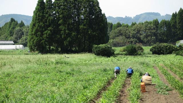生姜草むしり