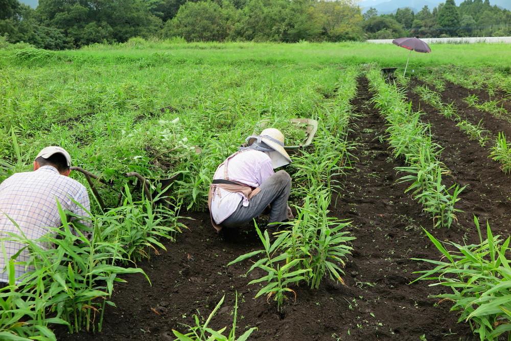 無農薬生姜草むしり