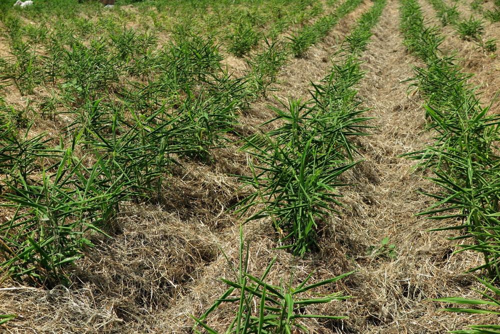 2017年 有機栽培 無農薬生姜ができるまで 藁敷き畑