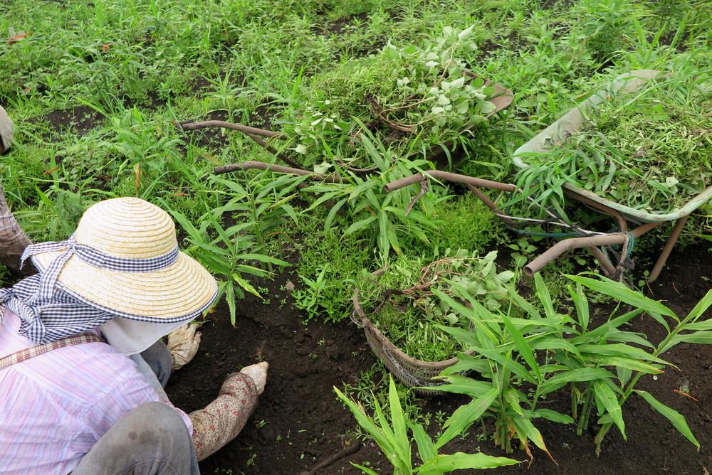 有機栽培 無農薬生姜ができるまで 草むしり