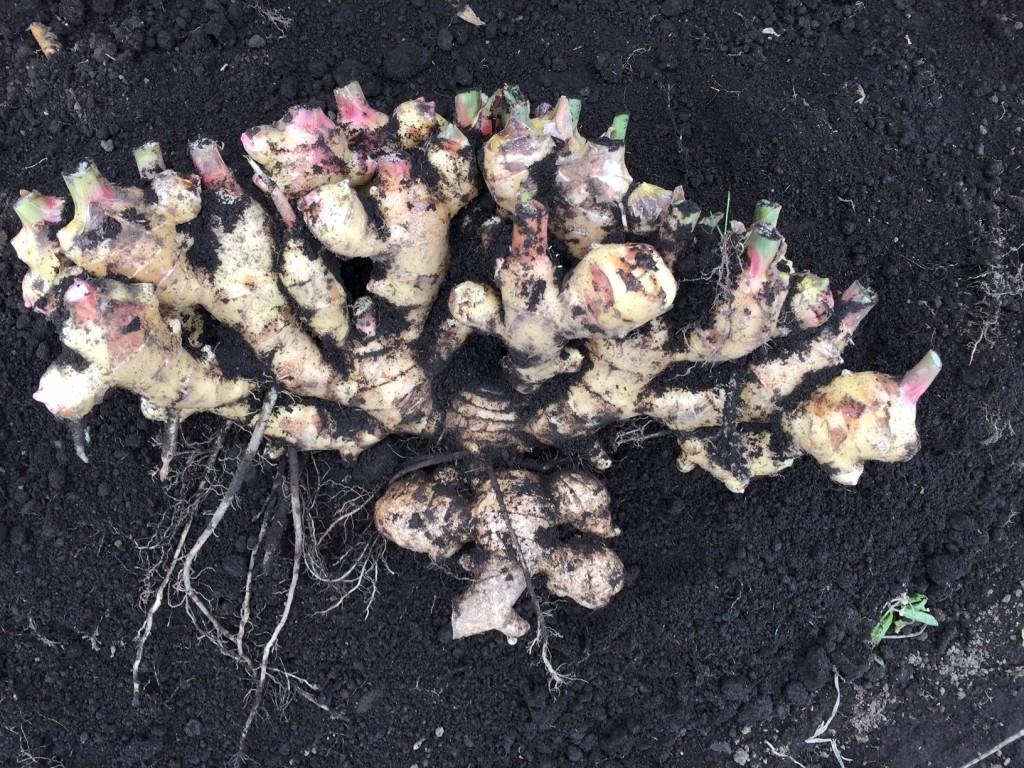 vege8 ginger 無農薬 有機栽培 生姜