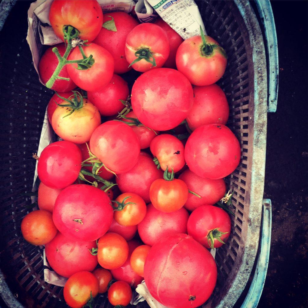 vege8 無農薬トマト