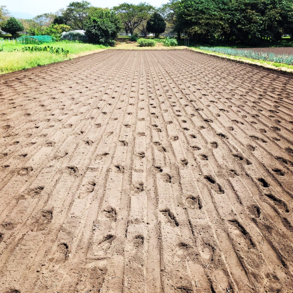 人参の種まき 畑