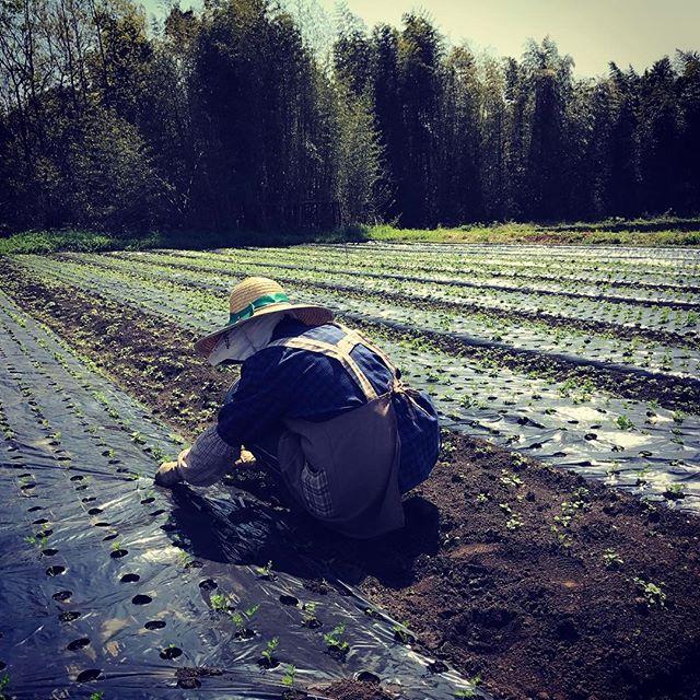 人参畑の草むしりがはじまりました。地元のおばちゃん達の力をかりて一本一本。#organic  #有機栽培 #無農薬野菜 #綾町