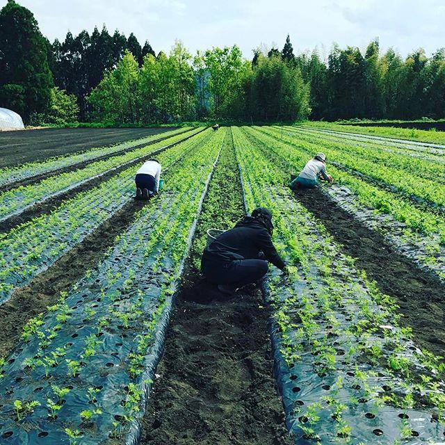 女子高生が人参の草むしりにきてくれました。腰が痛そうだったので、3時のオヤツにみんなで雪見大福を一個づつ食べました。#organic #人参ジュース #無農薬野菜 #人参 #有機