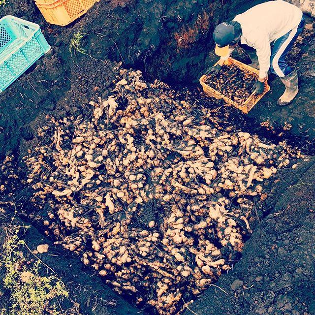 生姜植えが始まりました。土の中に保存してる生姜を、1トン分種に使います。#有機生姜#有機栽培 #無農薬 #organic #オーガニック #綾町