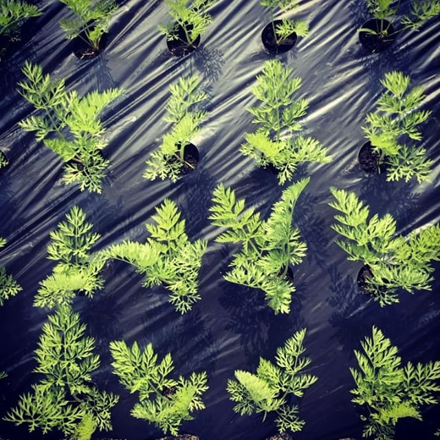 6月収穫の人参が大きくなってきました。今日は風の強い人参畑です。みなさん楽しいゴールデンウイークを! #綾町 #organic #人参ジュース #無農薬野菜 #simplelife
