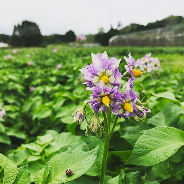 ジャガイモの花が咲きました。5月末くらいには収穫が始まります。#organic #poteto #無農薬野菜 #綾町