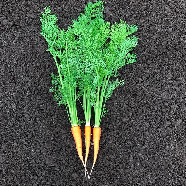 梅雨前には収穫したい人参が大きくなってきました。べーターカロチンの量が増え、綺麗なオレンジに。#organic #人参 #人参ジュース #livesimply #綾町