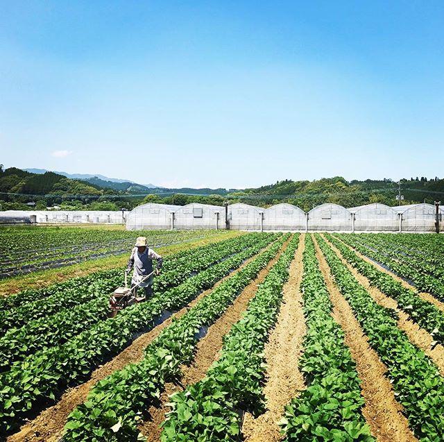 8月に収穫するサツマイモの畑の除草。収穫後、土の穴の中に1カ月ほど保存すると、甘さが劇的に増します。#organic #sweetpotato #サツマイモ #綾町 #無農薬 #無農薬野菜 #livesimply #simplelife
