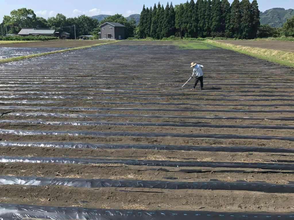 2017年 有機栽培 無農薬生姜 草むしり対策