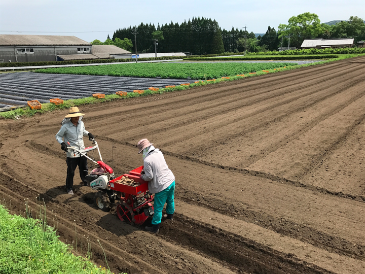 2017年の有機栽培しょうが植え付け
