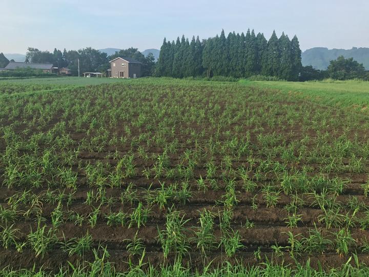 有機栽培ショウガ