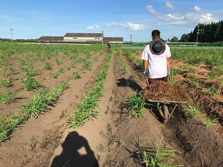 2017年 有機栽培 無農薬生姜畑 藁敷き