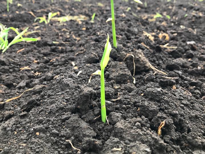 有機栽培 無農薬生姜発芽
