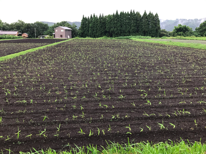 2017年 有機栽培 無農薬生姜発芽 畑の様子