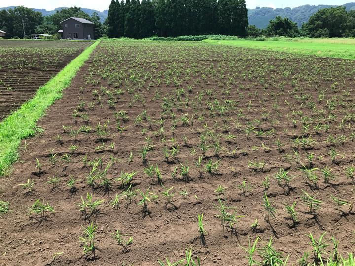 2017年 有機栽培 無農薬生姜ができるまで