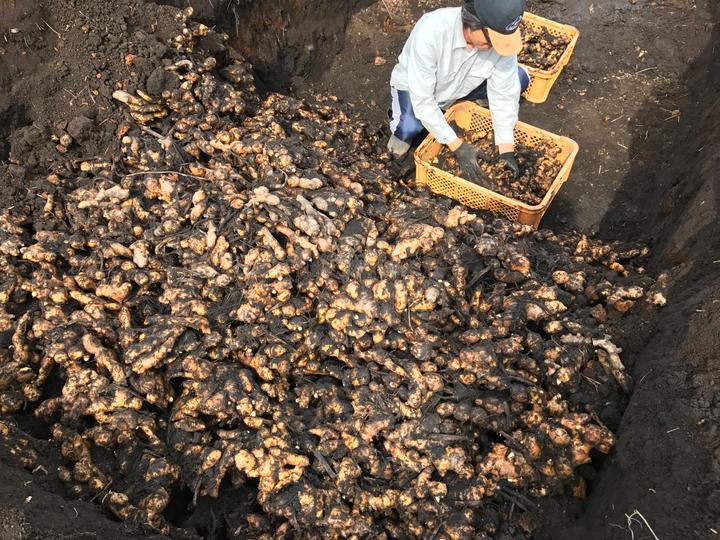 有機栽培 無農薬生姜種
