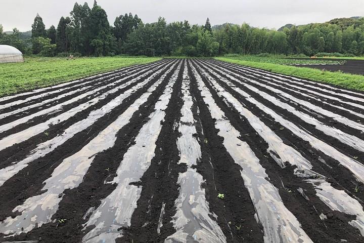 無農薬有機生姜 vege8